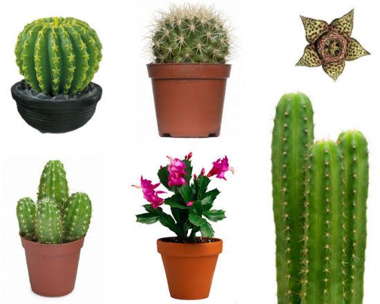 Les succulents cactus un oasis de cactus en el centro de for Cactus cuidados exterior